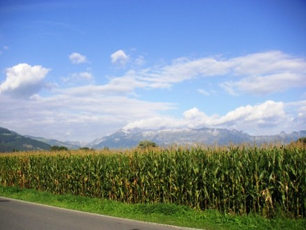 Maize field in Liechtenstein - public domain image
